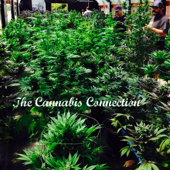 The Cannabis Connection